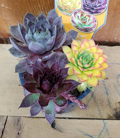Sempervivum - Chick Charms Trio - Candied Campfire