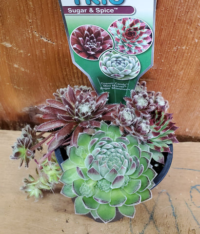 Sempervivum - Chick Charms Trio - Sugar & Spice