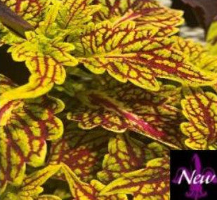 Coleus Under the Sea Fishnet Gold