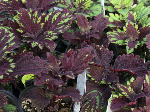Coleus Under the Sea Fish Net - LOCAL PICKUP
