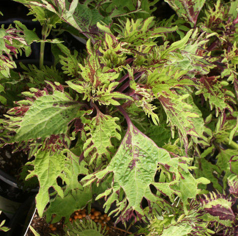 Coleus Under the Sea Gold Anemone - LOCAL PICKUP