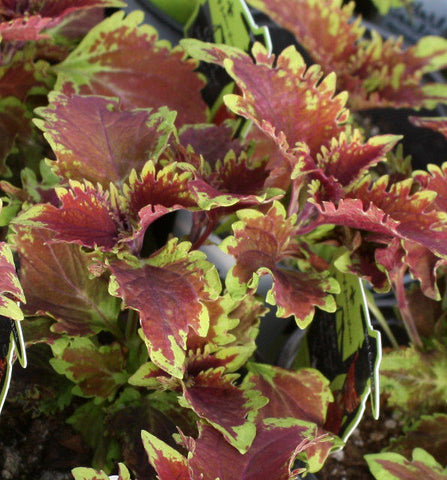 Coleus Under the Sea King Crab - LOCAL PICKUP