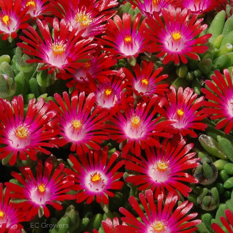 Delosperma Hotcakes Saucy Strawberry