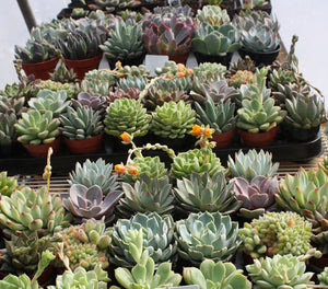 Echeveria Assortment (5 plants)