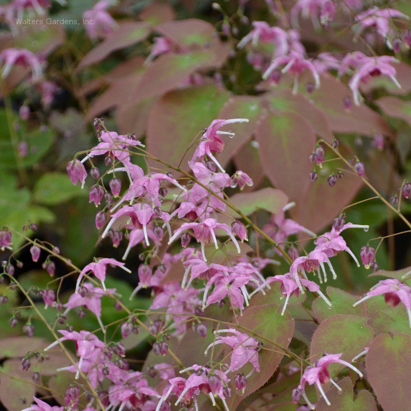 Epimedium 'Pretty in Pink'