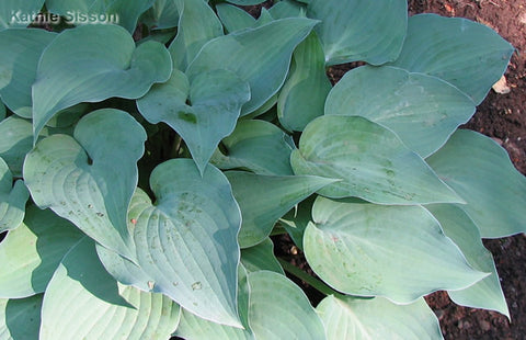 Hosta 'Gemstone'