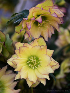 Helleborus 'First Dance'