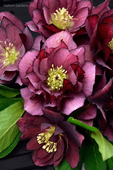 Helleborus 'True Love'