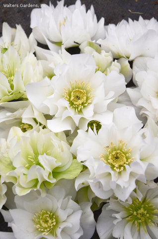 Helleborus 'Wedding Bells'