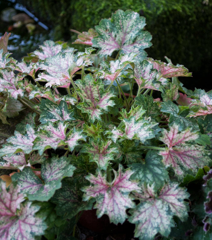 Heuchera 'Dew Drops'