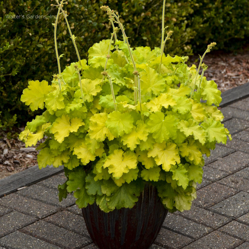 Heuchera 'Lemon Love'