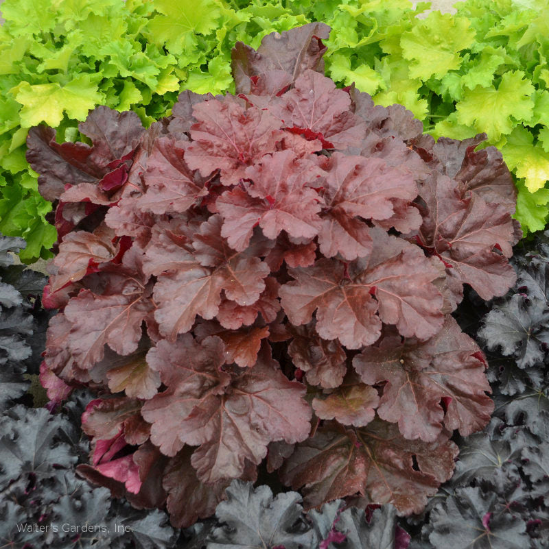 Heuchera 'Mahogany Monster'