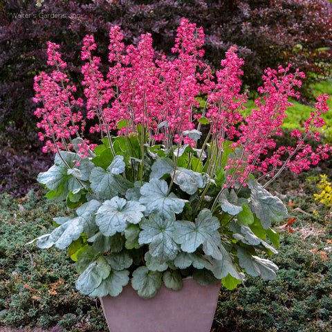 Heuchera 'Spearmint'