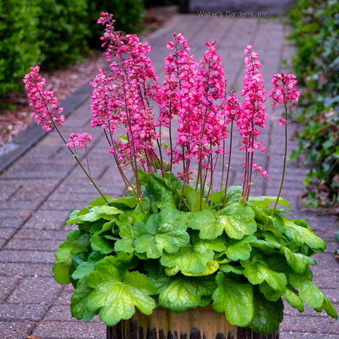 Heuchera 'Timeless Glow'