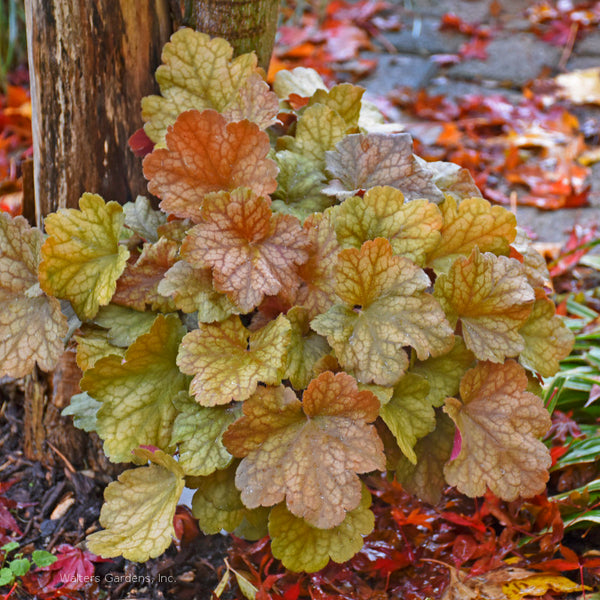 Heuchera 'Toffee Tart'