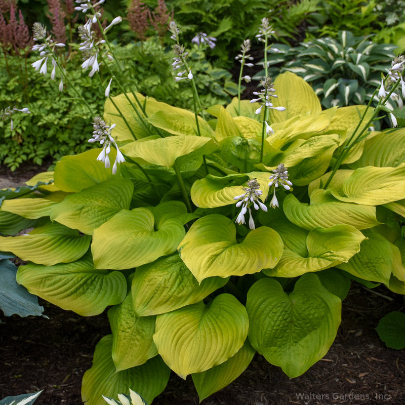Hosta 'Age of Gold'