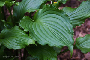 Hosta 'Ain't Misbehavin' leaf
