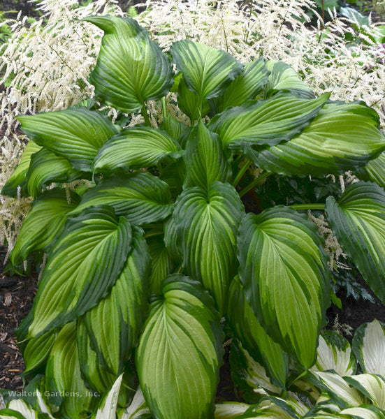 Hosta 'Angel Falls'