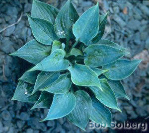 Hosta 'Baby Blue Eyes'