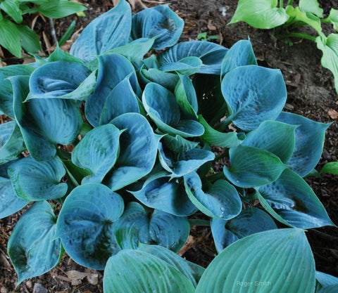 Hosta 'Baltimore Blues'