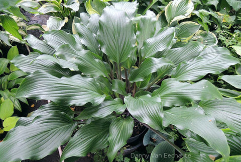 Hosta 'Bellevue'