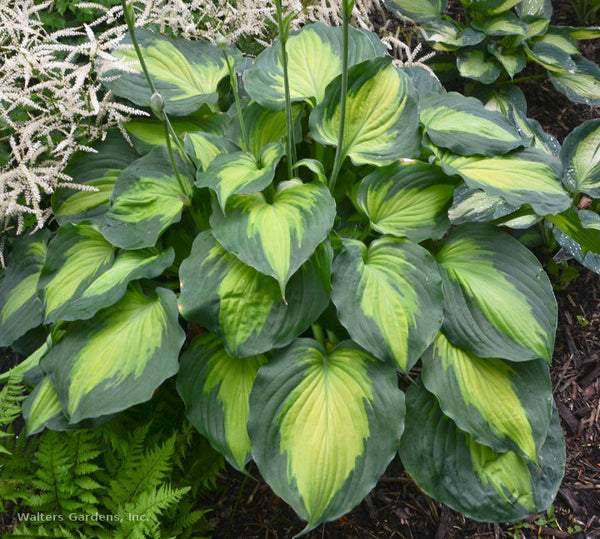 Hosta 'Beyond Glory'