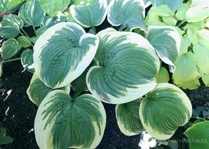 Hosta 'Big Beauty'