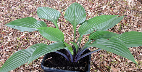 Hosta 'Black Light'