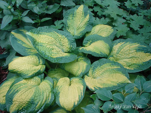 Hosta 'Brother Stefan'
