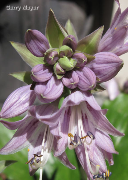 Hosta 'Candy Kisses'
