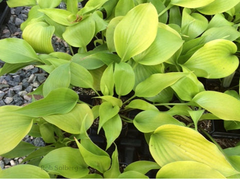 Hosta 'Carolina Keepsake'