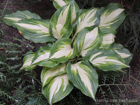Hosta 'Champagne For All'