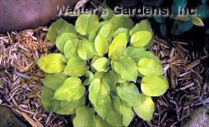 Hosta 'Cheatin Heart'