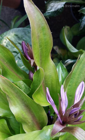 Hosta 'Chris' China Star'