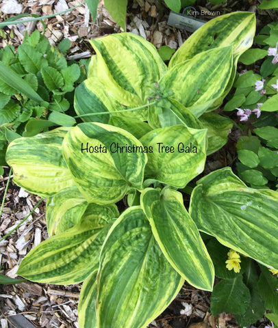 Hosta 'Christmas Tree Gala'