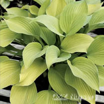 Hosta 'Chromosphere'