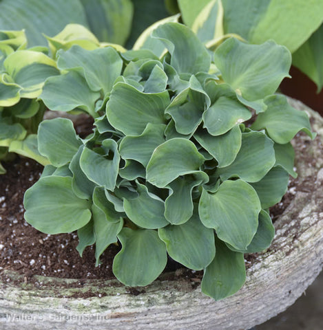 Hosta 'Church Mouse'