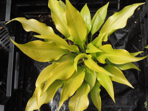 Hosta 'Citric Star'
