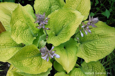 Hosta 'Coast to Coast'