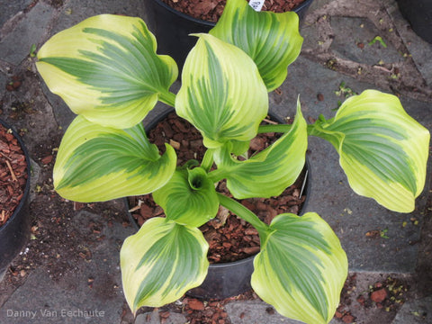 Hosta 'Coastal Treasure'