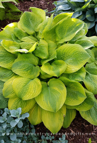 Hosta 'Country Confessions'