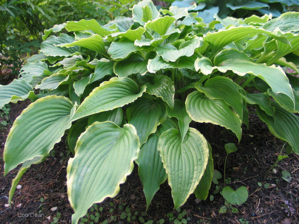 Hosta 'Country Double Take'