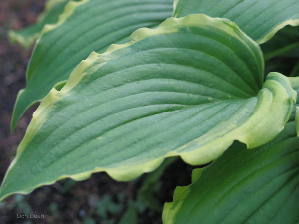 Hosta 'Country Double Take' leaf