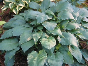 Hosta 'Country Rippled Relic'
