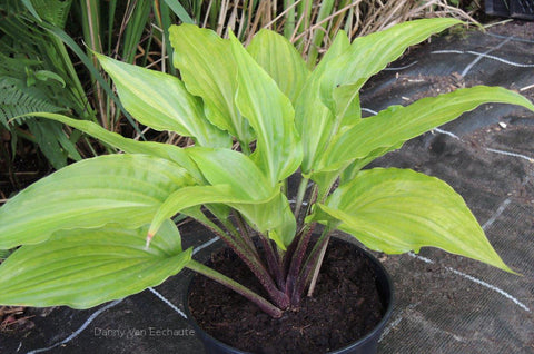 Hosta 'Crazy Spirit'