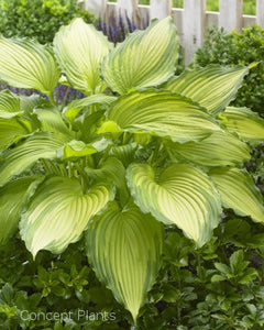 Hosta 'Dancing Darling'