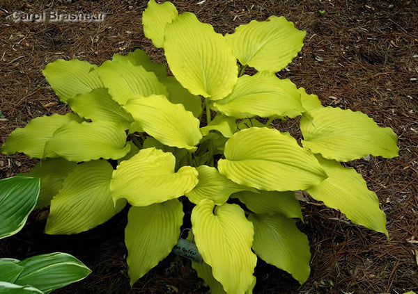Hosta 'Dancing Queen'