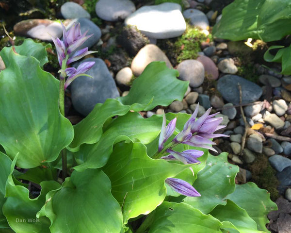 Hosta 'Elfin Princess'