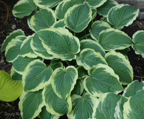 Hosta 'Ephemeral Lace'