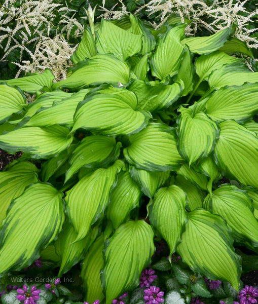 Hosta 'First Dance'